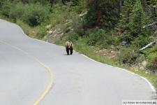 Erster Grizzlybär