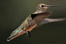 Kolibri, von Tim fotografiert