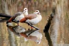 Nilgans Paar sitzt auf einem Ast im See