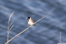 Heimische Vögel: Rohrammer