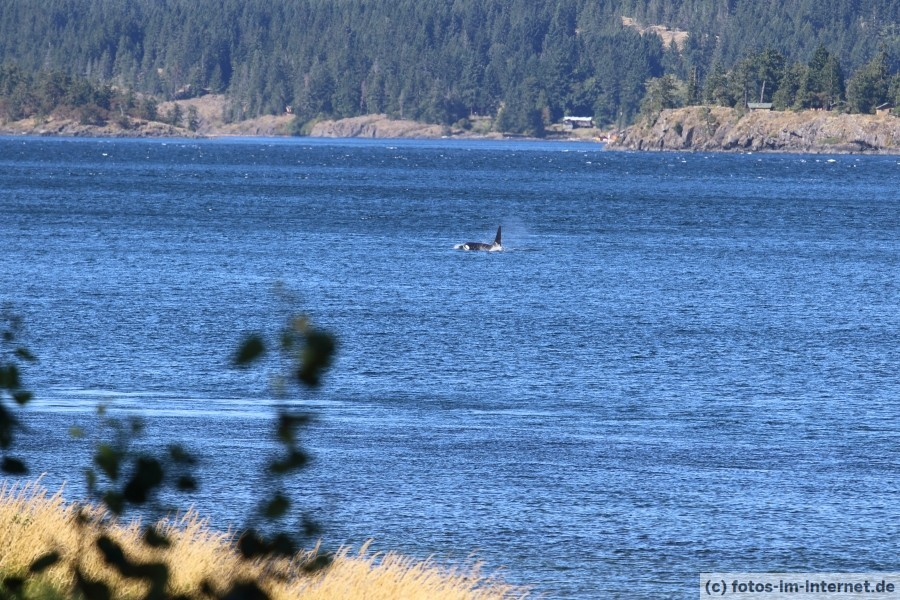 Campbell-River-Orca-1