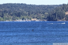 Campbell-River-Orca-2