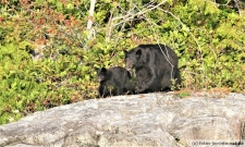 Tofino-Bear-Watching-Tour-2