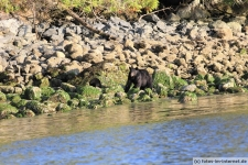 Tofino-Bear-Watching-Tour-3