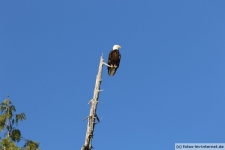 Tofino-Bear-Watching-Tour-Weißkopfseeadler