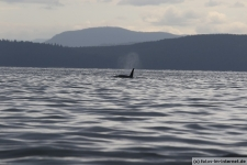 Vancouver-Island-Whale-Wachting-ecoventures-1