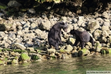Tofino-Bear-Watching-Tour-13