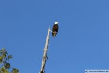 Tofino-Bear-Watching-Tour-Weißkopfseeadler