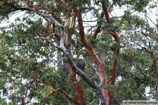 Fähre-Vancouver-Island-Weißkopfseeadler
