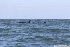 Vancouver-Island-Whale-Wachting-ecoventures-22