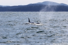 Vancouver-Island-Whale-Wachting-ecoventures-23