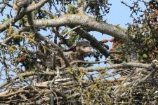 Weißkopfseeadler