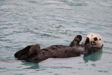 Seeotter, Seward, Alaska