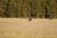 Grizzlybären
