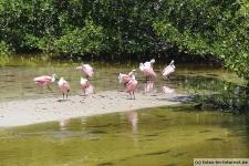 Rosa Löffler auf Sanibel Island im Ding Darling Wildlife Refuge