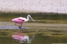Sanibel Island Ding Darling Wildlife Refuge Rosa Loeffler