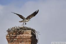 Fischadler Nest mit Küken