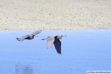 Rötelreiher auf Sanibel Island im Ding Darling Wildlife Refuge