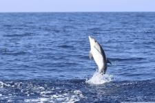 Bild von einem springenden Delfin