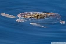 Schildkröte auf den Azoren