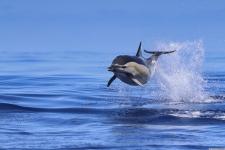Bild von einem springenden Delfin (Common Dolphin) in der Nähe von Sao Miguel (Azoren).