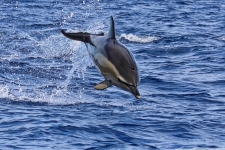 Delfin Sprung