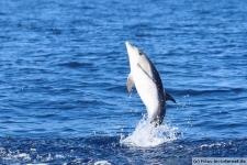 Delfin auf den Azoren