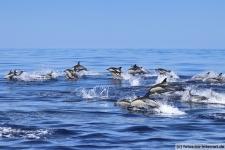 Ein große Gruppe Gemeine Delfine im Atlantik
