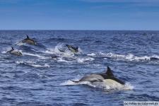 Gemeiner Delfin Gruppe Azoren Sao Miguel