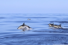 Gemeiner Delfine Bild von einer Familie