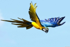 Papagei - Macaw