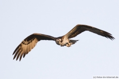 Fischadler im Flug, Florida