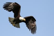 Weisskopfseeadler im Flug