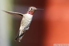 Bild von einem Kolibri in Sedona, Arizona