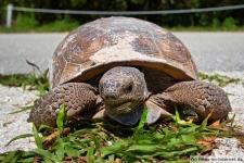 Schildkröte am Barefoot Beach in Florida