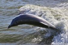 Delfin in Florida in den Ten Thousand Islands
