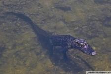 Alligator an einem Boardwalk in den Everglades in Florida