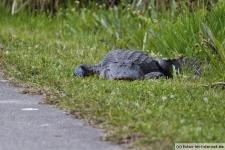 Alligator am Straßenrand im Shark Valley in den Everglades, Florida