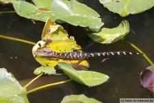 Baby Alligator im Shark Valley in Florida (Everglades Nationalpark)