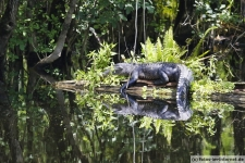 1_Fort-Myers-Boardwalk-Alligator