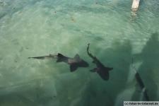 Bilder von Haien in Islamorada, Florida