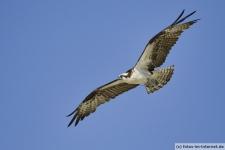 Fliegenden Fischadler, Sanibel Island, Florida