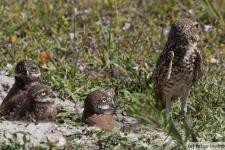 Bild von einer Kanincheneulen Familie (Burrowing Owl)