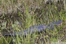 Alligator im Shark Valley, Everglades Nationalpark