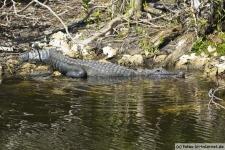 Alligator im Everglades NP