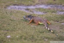 Key West Leguan