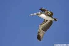 Pelikan auf Sanibel Island am Leuchtturm