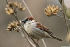 Heimische Vögel: Haussperling / Spatz