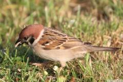 Heimische Vögel: Spatz