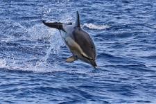 Azoren-Gemeiner-Delfin-Sprung-2